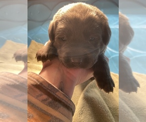 Labrador Retriever Puppy for sale in CEDAR VALE, KS, USA