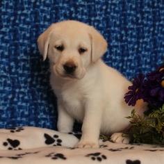 Labrador Retriever Puppy For Sale in GAP, PA