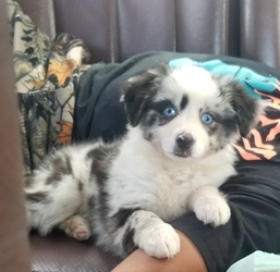 View Ad: Miniature Australian Shepherd Litter of Puppies for