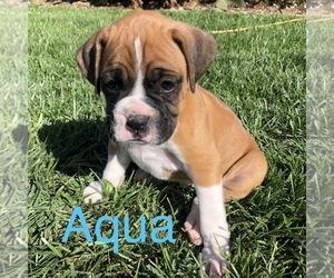 Boxer Puppy for Sale in GLENN, California USA