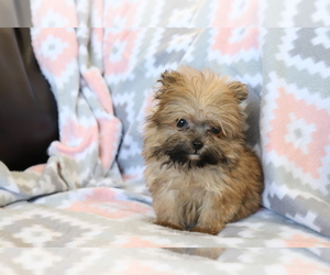 Pomeranian-Poodle (Toy) Mix Puppy for sale in SHILOH, OH, USA