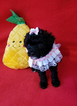 Poodle (Toy) Puppy For Sale in LEWISVILLE, Texas,