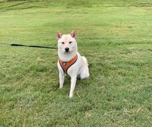 Shiba Inu Dog for Adoption in HIXSON, Tennessee USA