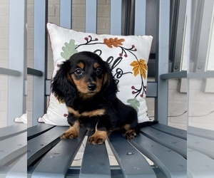 Dachshund Puppy for sale in FRANKLIN, IN, USA