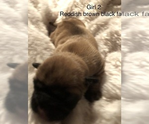 French Bulldog Puppy for sale in UNIONTOWN, OH, USA