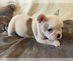 Small Photo #13 French Bulldog Puppy For Sale in JOHNS ISLAND, SC, USA