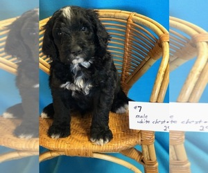 Bernedoodle Puppy for Sale in MORTON, Washington USA