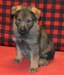 German Shepherd Dog Puppy For Sale in DEERFIELD, OH, USA