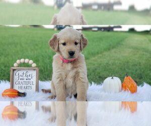 Golden Retriever Puppy for sale in SAN JOSE, CA, USA