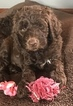 Labradoodle Puppy For Sale in KEWANEE, IL, USA