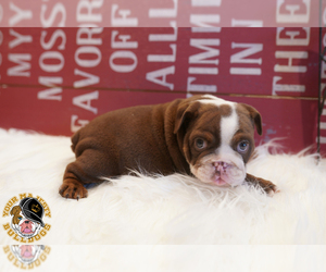 Bulldog Puppy for Sale in ARLINGTON, Texas USA