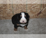 Puppy 3 Bernese Mountain Dog