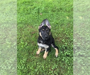 German Shepherd Dog Puppy for sale in ESPYVILLE, PA, USA