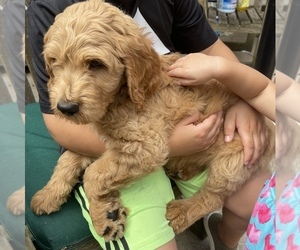 Goldendoodle Puppy for Sale in MAGNOLIA, Texas USA