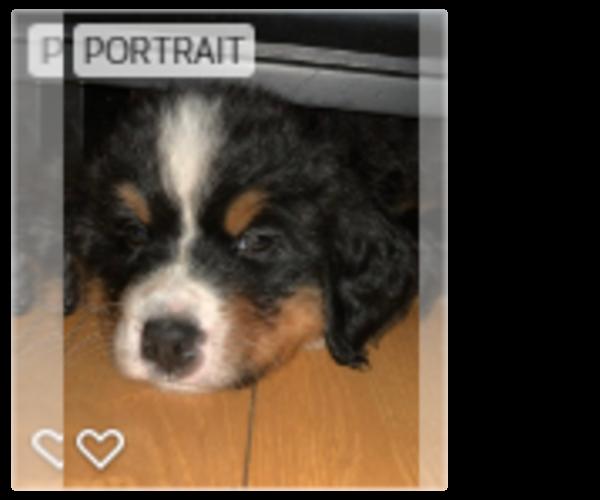 Puppyfindercom View Ad Photo 1 Of Listing Bernese