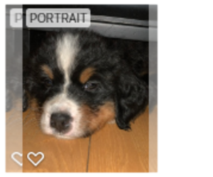 Bernese Mountain Dog Puppy for Sale in SALEM, New Hampshire USA