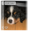 Bernese Mountain Dog Puppy For Sale in SALEM, NH, USA