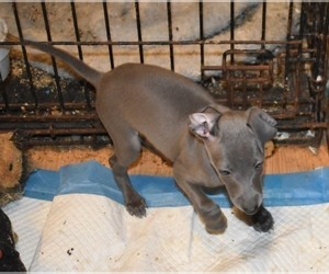 Italian Greyhound Puppy for sale in GRAHAM, WA, USA