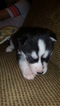 Siberian Husky Puppy For Sale in LICKING, MO