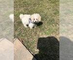 Poodle (Miniature) Puppy For Sale in MYRTLE BEACH, SC, USA