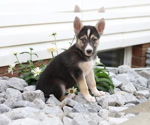 German Shepherd Dog-Siberian Husky Mix Puppy for sale in FREDERICKSBG, OH, USA