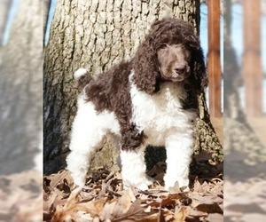 Poodle (Standard) Puppy for Sale in WARSAW, Indiana USA