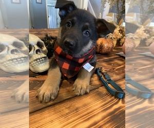 German Shepherd Dog Puppy for sale in BURTON CITY, OH, USA