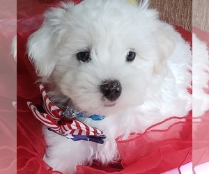 Maltese Puppy for Sale in PISCATAWAY, New Jersey USA