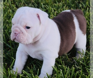 English Bulldog Puppy for sale in AZLE, TX, USA