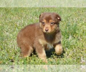 Miniature Australian Shepherd Puppy for Sale in STEPHENVILLE, Texas USA