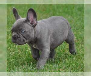 Bulldog Puppy for Sale in EDINA, Minnesota USA