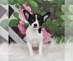 Puppy 4 Chihuahua