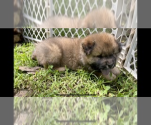 Chow Chow Puppy for sale in DRUMMONDS, TN, USA