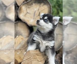 Alaskan Klee Kai-Pomsky Mix Puppy for sale in STAPLES, MN, USA