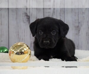 Labrador Retriever Puppy for sale in FREDERICKSBG, OH, USA