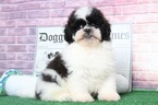 Lhasa-Poo Puppy For Sale in BEL AIR, MD, USA