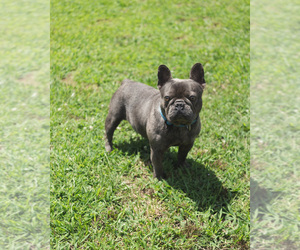 French Bulldog Dog for Adoption in FAYETTEVILLE, Arkansas USA