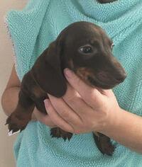 Dachshund Puppy For Sale in HAINES CITY, FL, USA