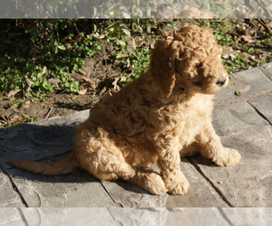 Goldendoodle Puppy for sale in MADILL, OK, USA