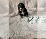 Puppy 10 Bordernese