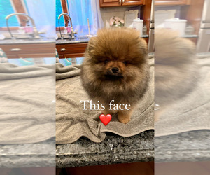 Pomeranian Puppy for sale in CORTLANDT MANOR, NY, USA