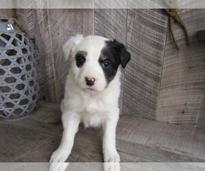 Border Collie Puppy for sale in KOKOMO, IN, USA