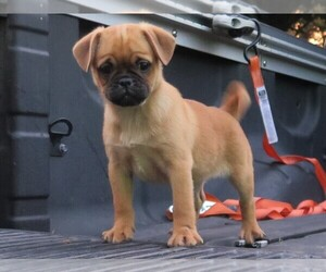 Medium Pug-Puggle Mix