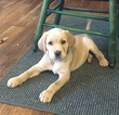 Golden Labrador Puppy For Sale in FAYETTEVILLE, GA, USA