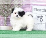 Faith Extravagant Female Malshi Puppy