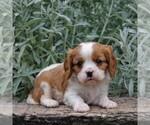 Small #3 Cavalier King Charles Spaniel
