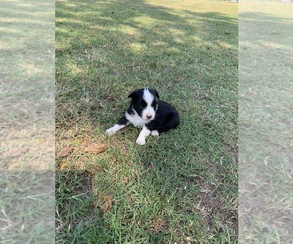 Medium Photo #1 Miniature Australian Shepherd Puppy For Sale in OVERBROOK, OK, USA
