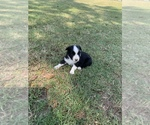 Small Photo #1 Miniature Australian Shepherd Puppy For Sale in OVERBROOK, OK, USA