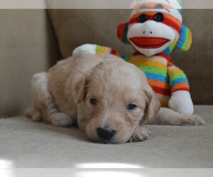 Goldendoodle Puppy for Sale in LIVE OAK, Florida USA