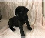 Puppy 1 Cane Corso